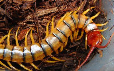 Centipede Bite